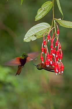 Chestnut-breasted Coronet (Boissonneaua matthewsii) hummingbird pair fighting over territory, Ecuador  -  Murray Cooper