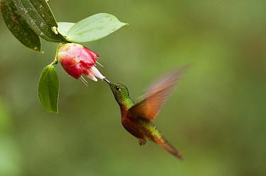 Chestnut-breasted Coronet (Boissonneaua matthewsii) hummingbird feeding on flower nectar, Ecuador  -  Murray Cooper