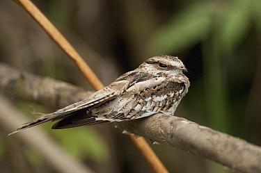 Ladder-tailed Nightjar (Hydropsalis climacocerca), Ecuador  -  Murray Cooper