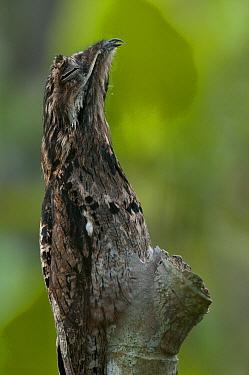 Common Potoo (Nyctibius griseus) camouflaged on tree, Ecuador  -  Murray Cooper