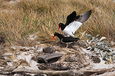 Magellanic Oystercatcher (Haematopus leucopodus) pair mating, Carcass Island, Falkland Islands  -  Flip  Nicklin