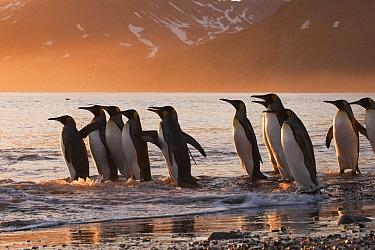 King Penguin (Aptenodytes patagonicus) group going to sea, St Andrew's Bay, South Georgia Island  -  Flip  Nicklin