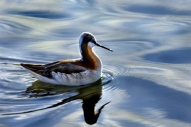 Wilson's Phalarope (Phalaropus tricolor) female in breeding plumage, North America  -  Jim Brandenburg