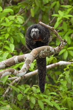 Monk Saki (Pithecia monachus) calling, Ecuador  -  Murray Cooper