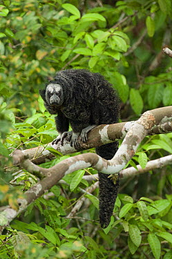 Monk Saki (Pithecia monachus) in tree, Ecuador  -  Murray Cooper