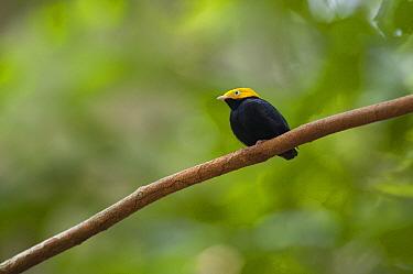 Golden-headed Manakin (Pipra erythrocephala), Ecuador  -  Murray Cooper