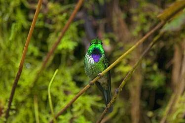 Purple-bibbed Whitetip (Urosticte benjamini) hummingbird, Ecuador  -  Murray Cooper