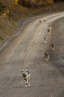 Gray Wolf (Canis lupus) alpha wearing tracking collar leading pack, Denali National Park, Alaska  -  Michael Quinton