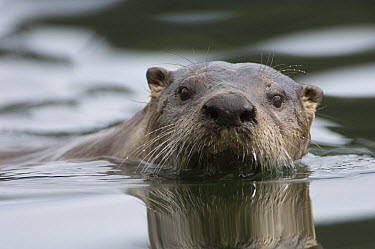 North American River Otter (Lontra canadensis) swimming, Alaska  -  Michael Quinton
