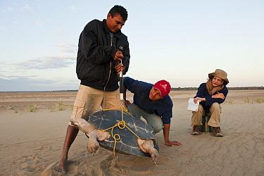 South American River Turtle (Podocnemis expansa) researchers weighing individual, part of captive breeding program, Orinoco River, Apure, Venezuela  -  Pete Oxford