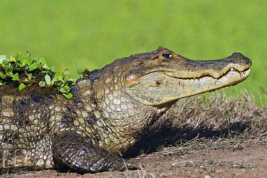 Spectacled Caiman (Caiman crocodilus), Hato Masaguaral, Venezuela  -  Pete Oxford