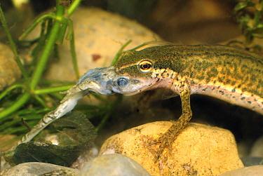 Palmate Newt (Triturus helveticus) eating Common Frog (Rana temporaria) tadpole, Switzerland  -  Thomas Marent