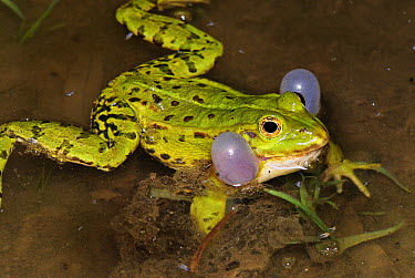 Edible Frog (Rana esculenta) calling, Switzerland  -  Thomas Marent