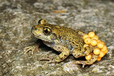 Midwife Toad (Alytes obstetricans) male carries eggs wrapped around hind legs until they hatch, Switzerland  -  Thomas Marent