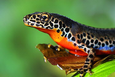 Alpine Newt (Ichthyosaura alpestris) male, Switzerland  -  Thomas Marent