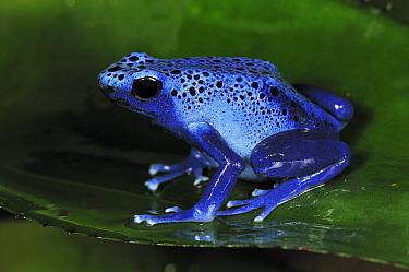 Dyeing Poison Frog (Dendrobates tinctorius), Surinam  -  Thomas Marent