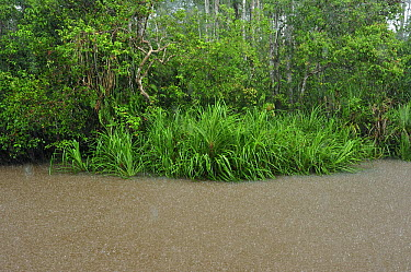 Sekonyer River flooding forest during heavy rain, Tanjung Puting National Park, Borneo, Indonesia  -  Thomas Marent