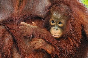 Orangutan (Pongo pygmaeus) young holding onto mother, Camp Leakey, Tanjung Puting National Park, Borneo, Indonesia  -  Thomas Marent