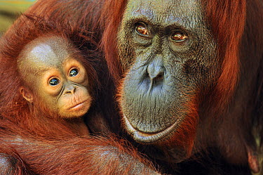 Orangutan (Pongo pygmaeus) female with young, Camp Leakey, Tanjung Puting National Park, Borneo, Indonesia  -  Thomas Marent