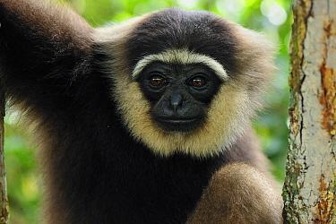 Bornean White-bearded Gibbon (Hylobates albibarbis), Tanjung Puting National Park, Borneo, Indonesia  -  Thomas Marent