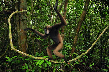 Bornean White-bearded Gibbon (Hylobates albibarbis) walking on liana, Tanjung Puting National Park, Borneo, Indonesia  -  Thomas Marent