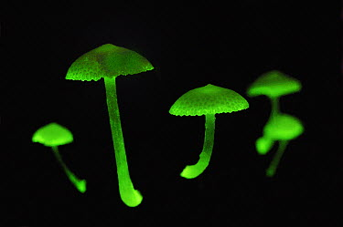 Fluorescent Fungus (Mycena illuminans) mushrooms glowing at night, Tanjung Puting National Park, Borneo, Indonesia  -  Thomas Marent