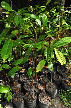 Ulin (Eusideroxylon zwageri) seedlings as part of a restoration project, Tanjung Puting National Park, Borneo, Indonesia  -  Thomas Marent