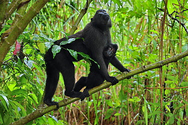 Celebes Black Macaque (Macaca nigra) mother with baby, Tangkoko Nature Reserve, northern Sulawesi, Indonesia  -  Thomas Marent