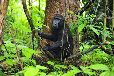 Celebes Black Macaque (Macaca nigra) in rainforest interior, Tangkoko Nature Reserve, northern Sulawesi, Indonesia  -  Thomas Marent