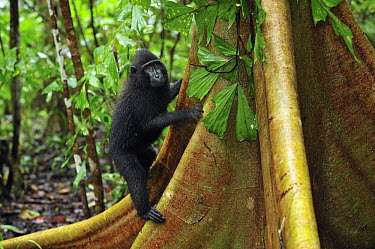 Celebes Black Macaque (Macaca nigra) juvenile climbing on buttress roots, Tangkoko Nature Reserve, northern Sulawesi, Indonesia  -  Thomas Marent