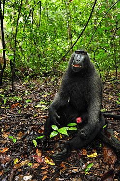 Celebes Black Macaque (Macaca nigra) male sitting on forest floor, Tangkoko Nature Reserve, northern Sulawesi, Indonesia  -  Thomas Marent