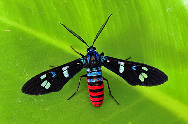 Forester Moth (Zygaenidae), Tangkoko Nature Reserve, northern Sulawesi, Indonesia  -  Thomas Marent