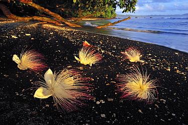 Sea Putat (Barringtonia asiatica) flowers on volcanic black sand beach at sunrise, Tangkoko Nature Reserve, northern Sulawesi, Indonesia  -  Thomas Marent