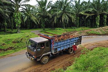Oil Palm (Elaeis sp) fruit in truck transported from plantation, beside Gunung Leuser National Park, northern Sumatra, Indonesia  -  Thomas Marent