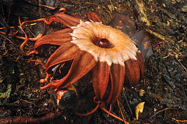 Rhizanthes (Rhizanthes sp) female flower mimics the smell of a rotting carcass to attract carrion flies which swarm around it to lay their eggs, Gunung Leuser National Park, northern Sumatra, Indonesi...  -  Thomas Marent