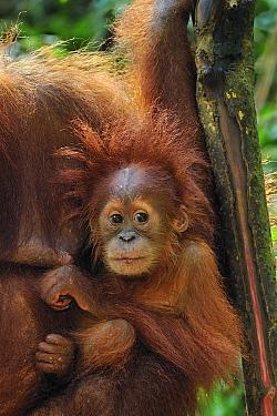 Sumatran Orangutan (Pongo abelii) mother with young, Gunung Leuser National Park, northern Sumatra, Indonesia  -  Thomas Marent