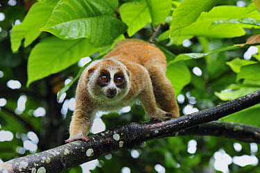 Slow Loris (Nycticebus coucang) climbing in tree, northern Sumatra, Indonesia  -  Thomas Marent