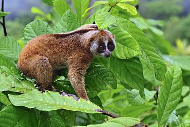 Slow Loris (Nycticebus coucang), northern Sumatra, Indonesia  -  Thomas Marent