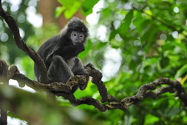 Ebony Leaf Monkey (Trachypithecus auratus) feeding, Java, Indonesia  -  Thomas Marent