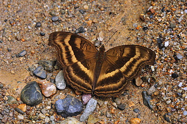 Chocolate Pansy (Junonia iphita) butterfly on ground, Gunung Leuser National Park, northern Sumatra, Indonesia  -  Thomas Marent
