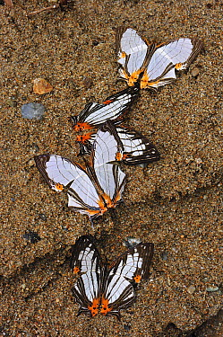 Straight Line Mapwing (Cyrestis nivea) butterfly group feeding on minerals in sand, Gunung Leuser National Park, northern Sumatra, Indonesia  -  Thomas Marent
