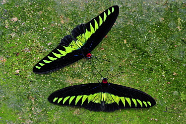 Rajah Brooke's Birdwing (Trogonoptera brookiana) butterfly males, Cameron Highlands, Malaysia  -  Thomas Marent