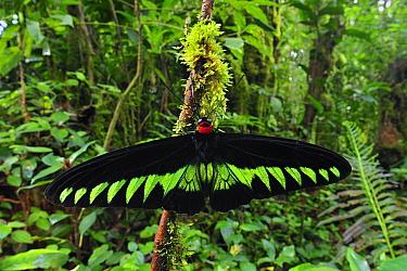 Rajah Brooke's Birdwing (Trogonoptera brookiana) butterfly male in rainforest, Cameron Highlands, Malaysia  -  Thomas Marent