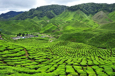 Tea plantations, Cameron Highlands, Malaysia  -  Thomas Marent