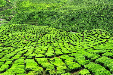 Tea plantation, Cameron Highlands, Malaysia  -  Thomas Marent
