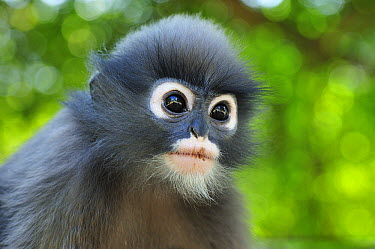 Dusky Leaf Monkey (Trachypithecus obscurus) young, Khao Sam Roi Yot National Park, Thailand  -  Thomas Marent