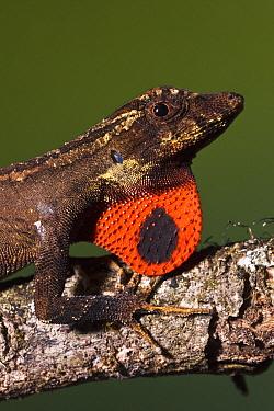 Anolis Lizard (Anolis sp) male extending dewlap, northwest Ecuador  -  Pete Oxford