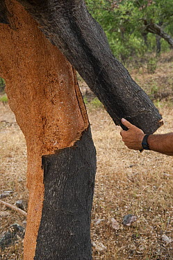 Cork Oak (Quercus suber) bark being harvested for wine corks and other products, San Vicente de Alcantara, Extremadura, Spain  -  Pete Oxford