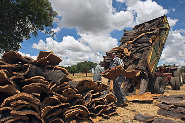 Cork Oak (Quercus suber) bark being stacked and loaded onto trucks for transporting to the factories, San Vicente de Alcantara, Extremadura, Spain  -  Pete Oxford