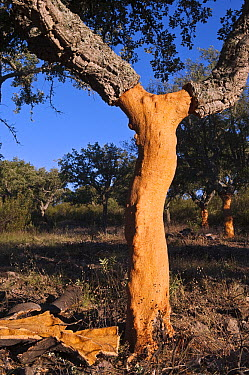 Cork Oak (Quercus suber) showing where bark has recently been removed, San Vicente de Alcantara, Extremadura, Spain  -  Pete Oxford